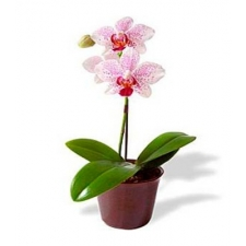 Potted Mini Orchid Plants